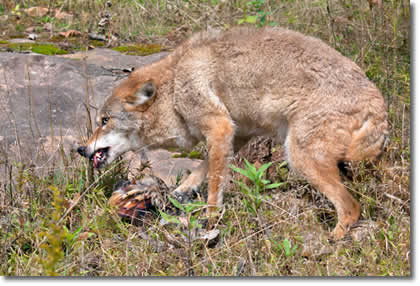 Coyote Removal Trapper J Will Get Rid Of Coyotes