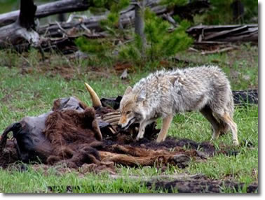 Coyote Removal Service