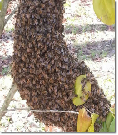 Honey Bee Swarm Removal Service