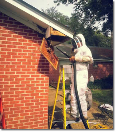 Honey Bee Removal Service