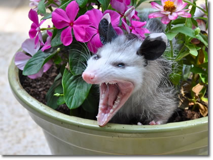 how to get rid of possum in basement