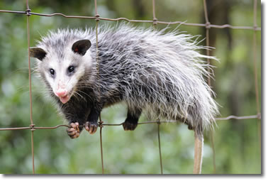 Opossum Removal Service
