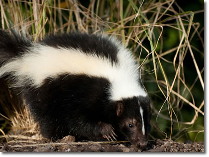 skunk how to get rid of them